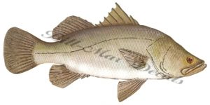 Barramundi (Giant Perch)