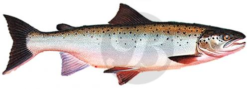 103 Atlantic Salmon
