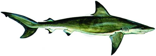 113 Blacktip Shark