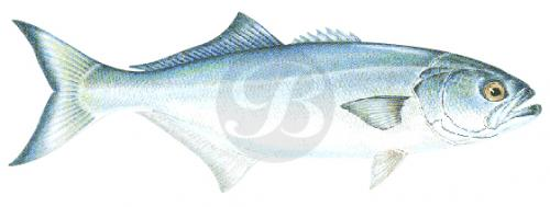 118 Bluefish