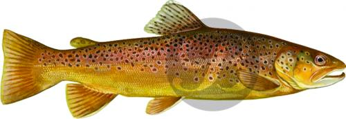 121 Brown Trout