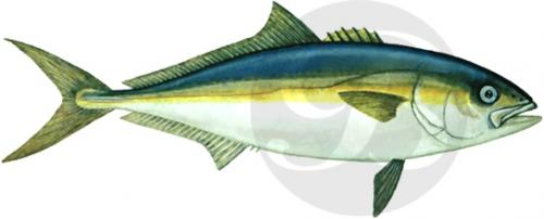 127 California Yellowtail