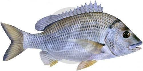 141 Eastern Black Bream