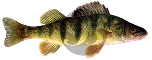 153 Lake Perch